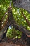 Boschetto Big Sur California della sequoia della foresta nazionale di cappellani di Los Fotografie Stock Libere da Diritti