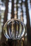 Boschetto degli alberi giganti della sequoia della sequoia catturati in Bal di vetro del globo immagine stock libera da diritti