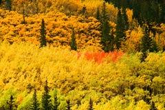 Boschetto del Colorado Aspen in autunno Immagini Stock