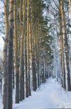 Boschetto del pino in inverno fotografie stock