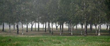 Boschetto della betulla con con nebbia Fotografia Stock Libera da Diritti