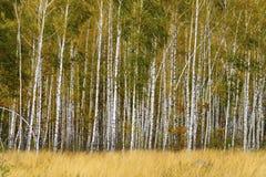 Boschetto della betulla con erba nella priorità alta Fotografia Stock Libera da Diritti