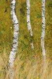 Boschetto della betulla con erba nella priorità alta Fotografie Stock