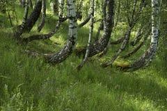 Boschetto della betulla con erba verde ed i wildflowers Fotografia Stock