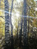 Boschetto della betulla con il sole di autunno immagini stock libere da diritti