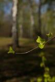 Boschetto della betulla della primavera Fotografia Stock Libera da Diritti
