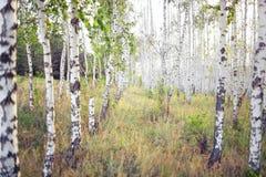 Boschetto della betulla della primavera con le giovani foglie Fotografie Stock Libere da Diritti