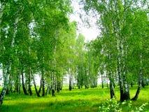 Boschetto della betulla di estate Fotografie Stock