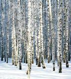 Boschetto della betulla di inverno di Snowy al sole Fotografie Stock