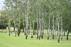 Boschetto della betulla nel parco Immagine Stock