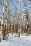 Boschetto della betulla nell'inverno Fotografie Stock Libere da Diritti