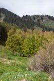 Boschetto della betulla nelle montagne Fotografia Stock Libera da Diritti