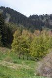 Boschetto della betulla nelle montagne Fotografia Stock