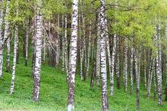 Boschetto della betulla nelle montagne Fotografie Stock
