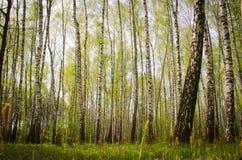 Boschetto della betulla in primavera Fotografie Stock Libere da Diritti
