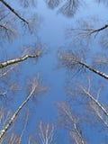Boschetto della betulla su cielo blu, concetto della guida, Fotografia Stock Libera da Diritti