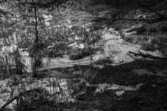Boschetto della canna di inverno Fotografia Stock
