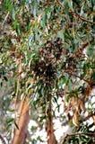 Boschetto della farfalla di monarca, spiaggia di Pismo, California fotografie stock libere da diritti
