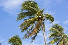 Boschetto della noce di cocco con le noci di cocco mature Immagine Stock