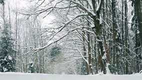 Boschetto della quercia coperto di neve a dicembre prima del Natale archivi video