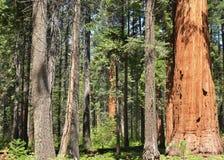 Boschetto della sequoia Fotografia Stock Libera da Diritti