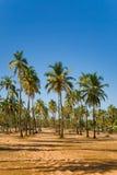 Boschetto delle palme della noce di cocco in India Fotografia Stock Libera da Diritti