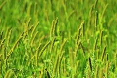 Boschetto di alta erba verde sul prato Immagini Stock
