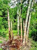 Boschetto di bambù Immagine Stock Libera da Diritti