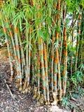 Boschetto di bambù Immagine Stock