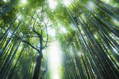 Boschetto di bambù con il sole che splende attraverso la foresta, Kyoto, Giappone Immagini Stock