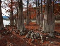 Boschetto di Cypress verso la metà dell'autunno Immagini Stock Libere da Diritti