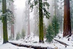 Boschetto di Mariposa delle sequoie giganti, parco nazionale di Yosemite, Califo Fotografie Stock Libere da Diritti