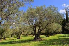 Boschetto di olivi, Grecia Fotografie Stock Libere da Diritti