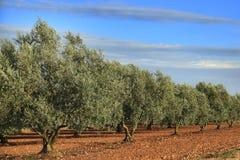 Boschetto di olivo Fotografie Stock Libere da Diritti