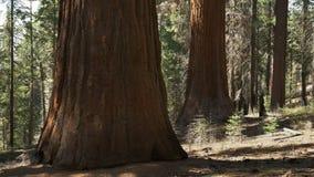 Boschetto di Tuolumne delle sequoie giganti in parco nazionale di Yosemite stock footage