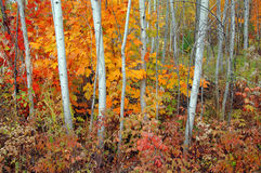 Boschetto ed aceri dell'Aspen in autunno Fotografia Stock Libera da Diritti