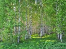 Boschetto fresco della betulla e dell'erba verde Primavera Forest Scene fotografia stock libera da diritti