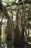 Boschetto gigante dell'albero di banyan in Tailandia Immagine Stock