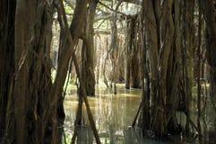 Boschetto gigante dell'albero di banyan in Tailandia Fotografia Stock Libera da Diritti