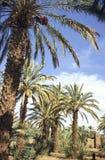Boschetto marocchino della palma Immagini Stock