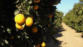 Boschetto maturo dell'arancia dell'alimento del ramo di albero della frutta fresca stock footage