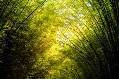 Boschetto o foresta di bambù della pianta di Beautyful Fotografia Stock