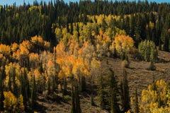 Boschetto sempreverde con i colori di caduta Fotografia Stock Libera da Diritti