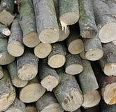 bosco ceduo fotografie stock libere da diritti