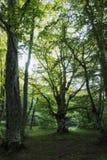 Bosco Di Sant ` Antonio δάσος, Abruzzo, Ιταλία Στοκ Εικόνα