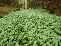 Bosco verde e frondoso, aglio selvaggio (ursinum dell'allium) Fotografia Stock Libera da Diritti
