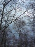 Bosdetail met leafless bomen in de lente op een bewolkte avond Stock Foto's