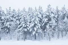 Bosdiebomen in sneeuw worden behandeld Stock Foto's