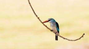 BosdieIjsvogelvogel op een tak wordt neergestreken Stock Foto
