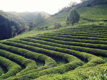 Boseong绿茶种植园,韩国 免版税库存图片